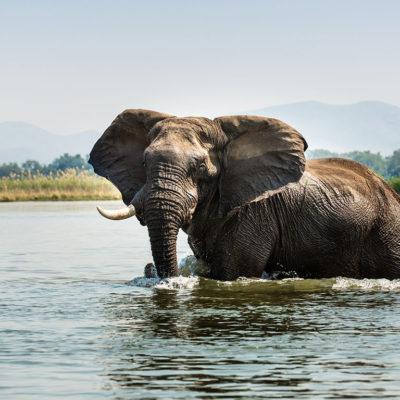 GreatPlainsFoundation-ConservationEmergencyFund-elephant-zambezi