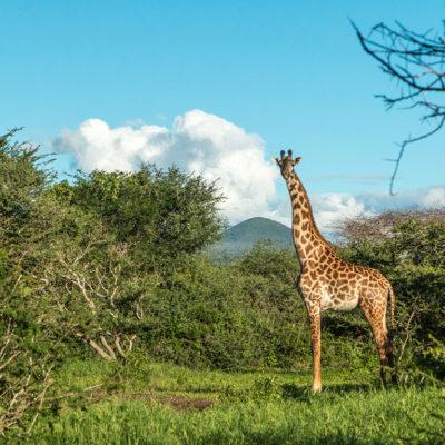 GreatPlainsFoundation-ConservationEmergencyFund-giraffe