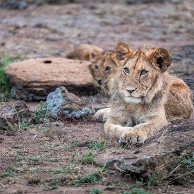 GreatPlainsFoundation-ConservationEmergencyFund-lion-cub