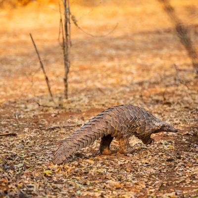 GreatPlainsFoundation-ConservationEmergencyFund-pangolin